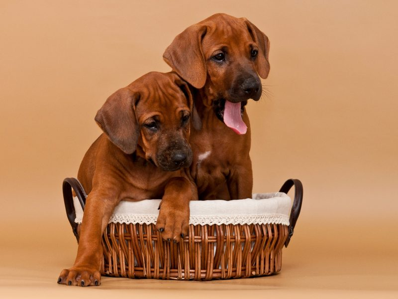 Rhodesian Ridgeback Puppies Austin may 2020 for sale
